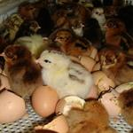 Establishing Laying Hens Breeding Unit's Feasibility Study