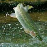 Trout Fish's Feasibility Study